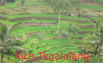 rice terrace at tegalalang village