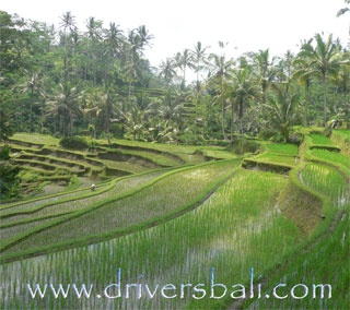 rice terace on the way to gunung kawi temple