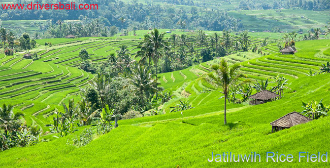 jatiluwih with beautiful rice terrace